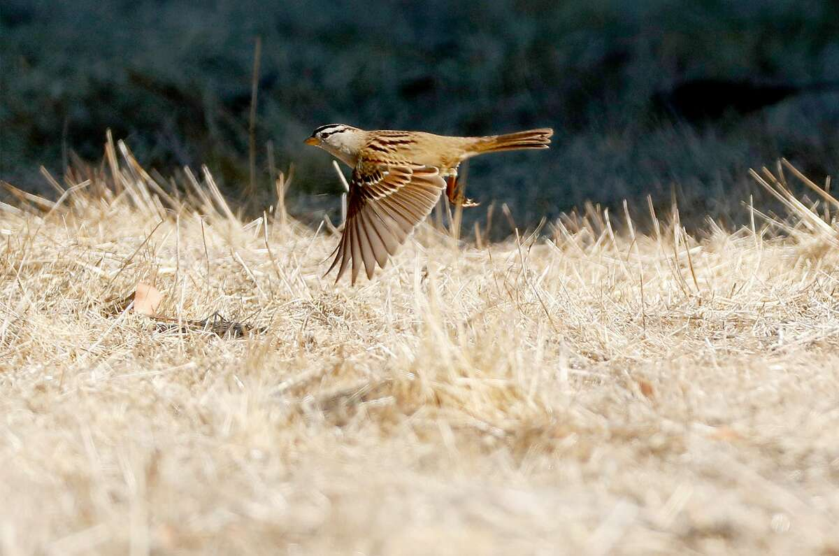 A white crowned sparrow takes flight at MLK Regional Shoreline in Oakland, Calif., on Wednesday, November 25, 2020. Researchers think white crowned sparrows, a common city bird, have started singing more complex songs in response to quieter streets and less traffic during the pandemic.