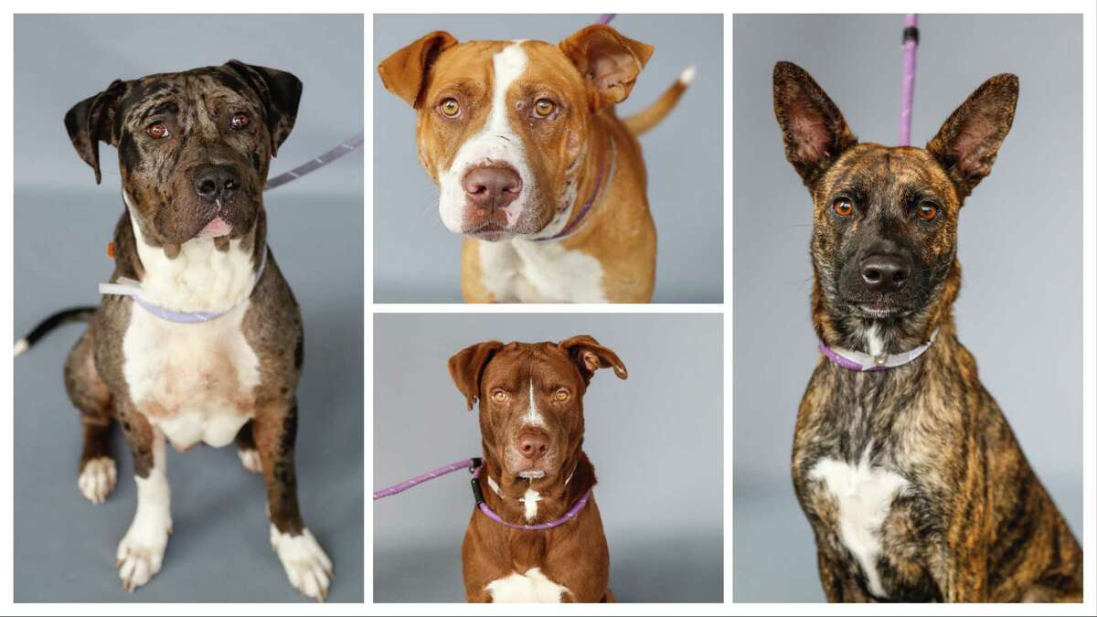 Cowboy (A1729398-left) is a 6-year-old, male, Blue Merle/white Catahoula mix; Marco (A1730010-top) is a 4-year-old, male, American Bulldog mix; Dwight (A1727545) is a 3-year-old, male, Labrador Retriever; Bree (A1725711-right) is a 1-year-old, female, Dutch Shepherd/Plott Hound mix. All are available for adoption from BARC Animal Shelter. Photographed, Thursday, November 12, 2020, in Houston.