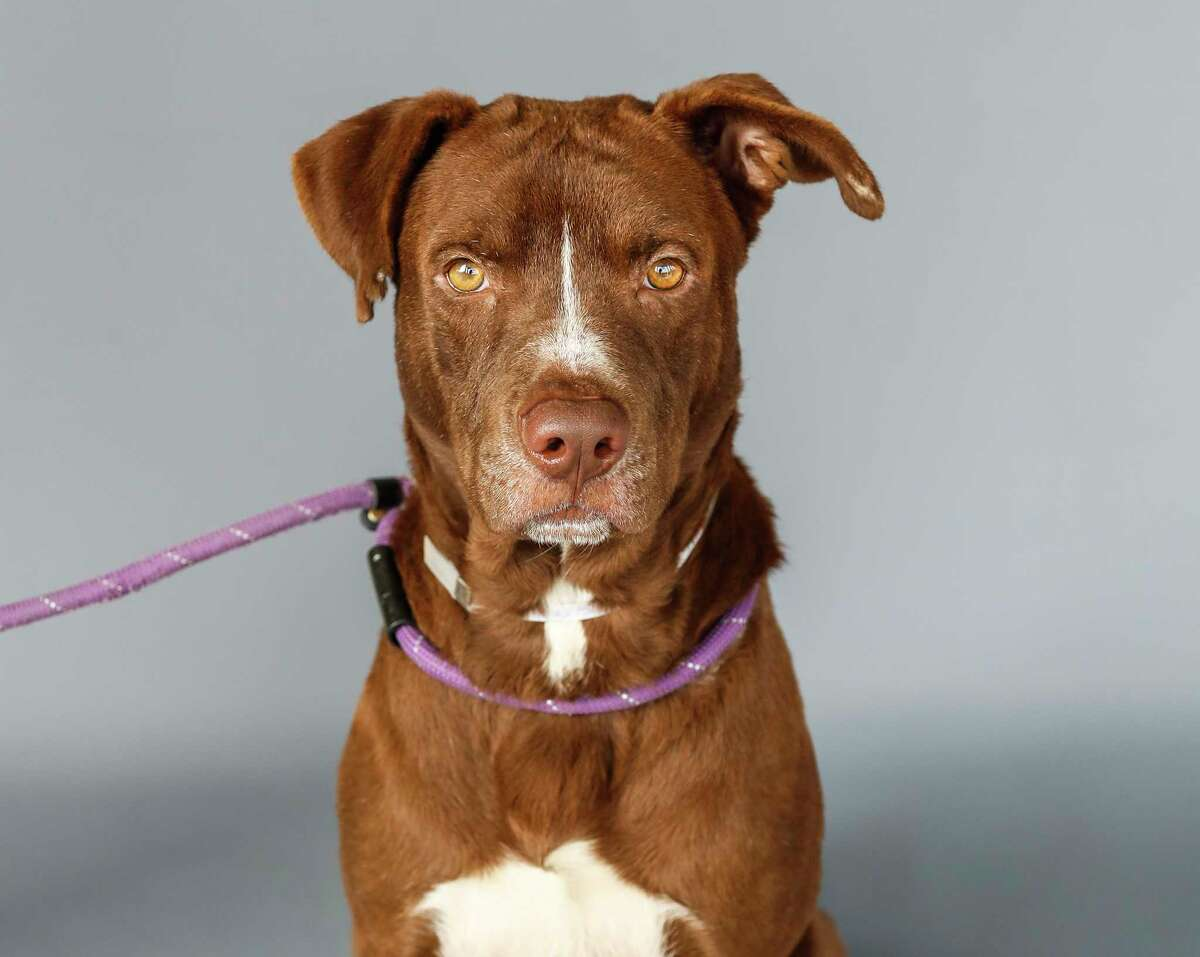 Dwight (A1727545) is a 3-year-old, male, Labrador Retriever mix, available for adoption from BARC Animal Shelter.Dwight is the sweetest boy, who is very well behaved. BARC staff says of Dwight,