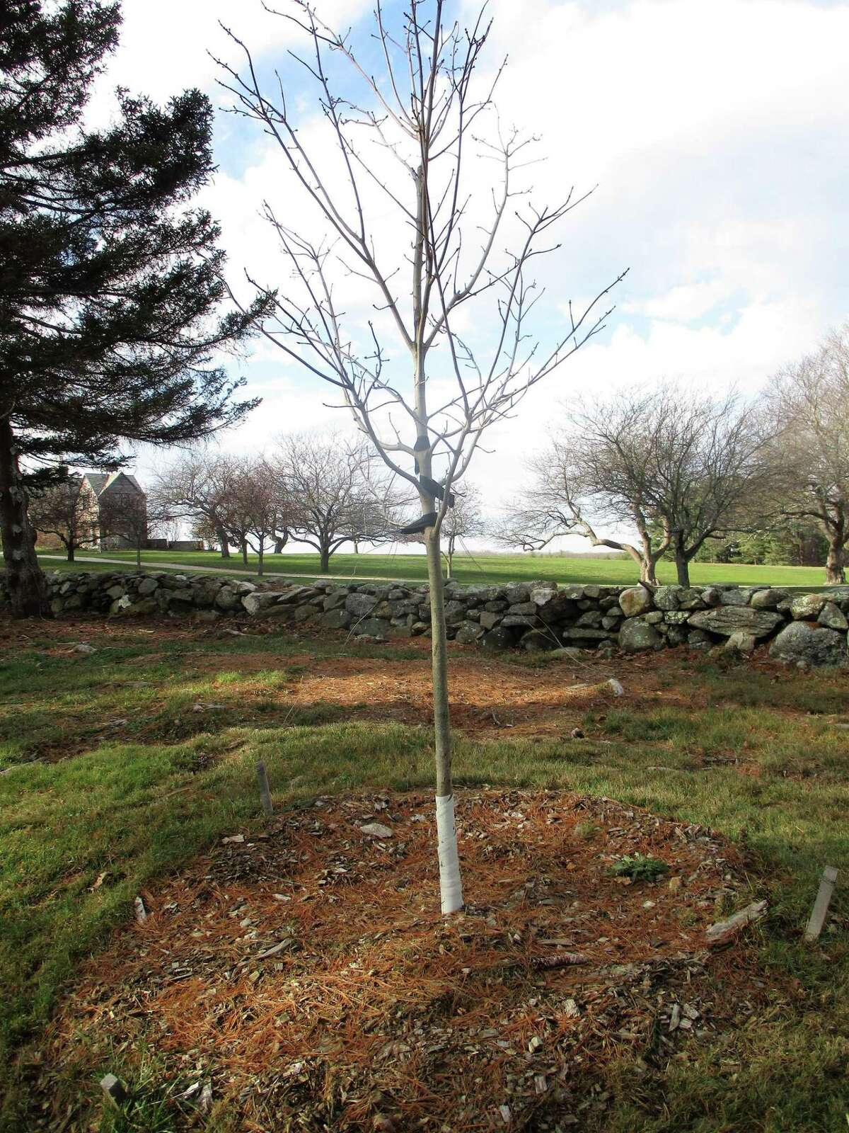 One of the newly planted replacements at Topsmead in Litchfield, an apple tree, is already budding.
