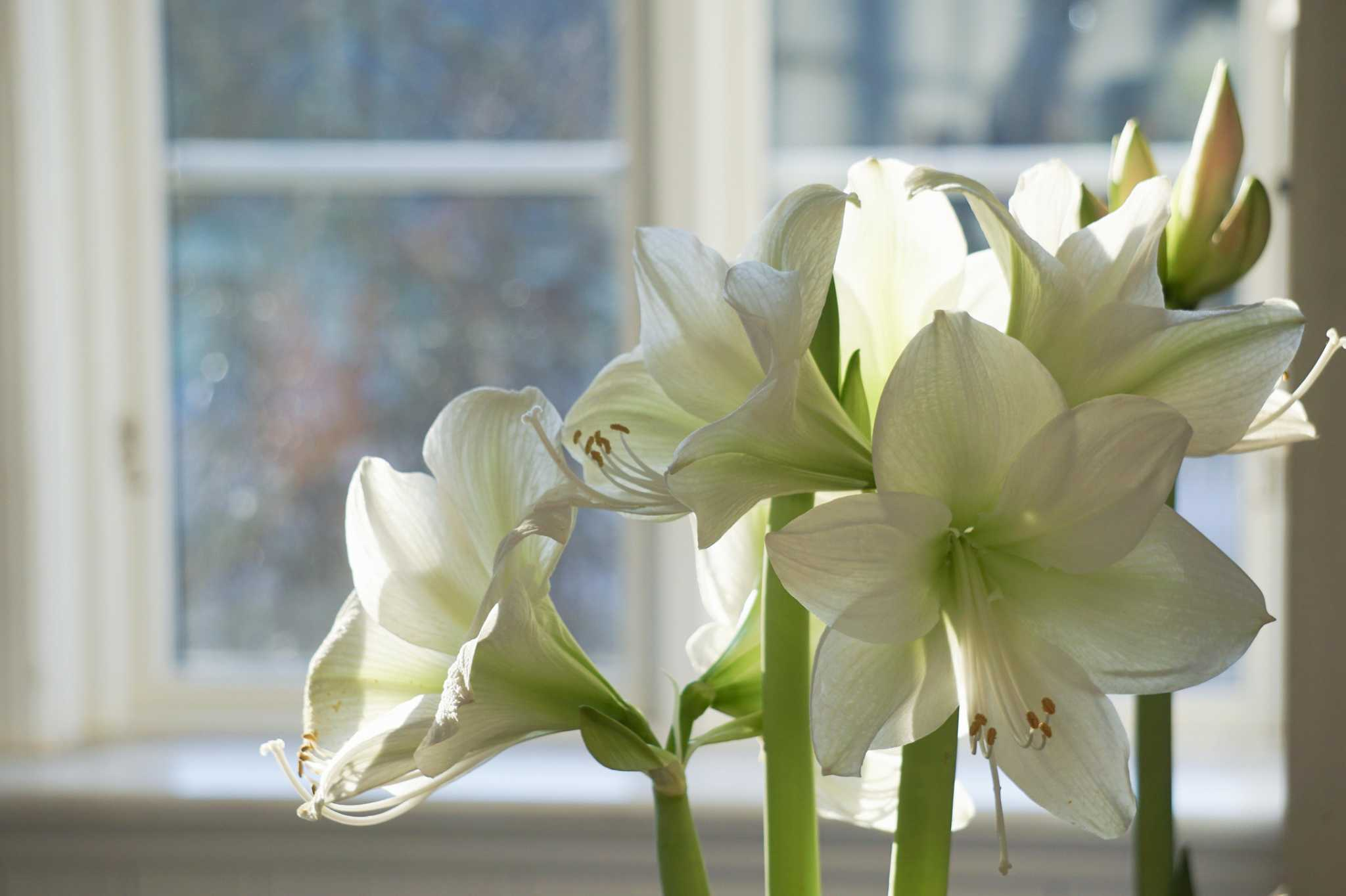 Say 'happy holidays' with amaryllis