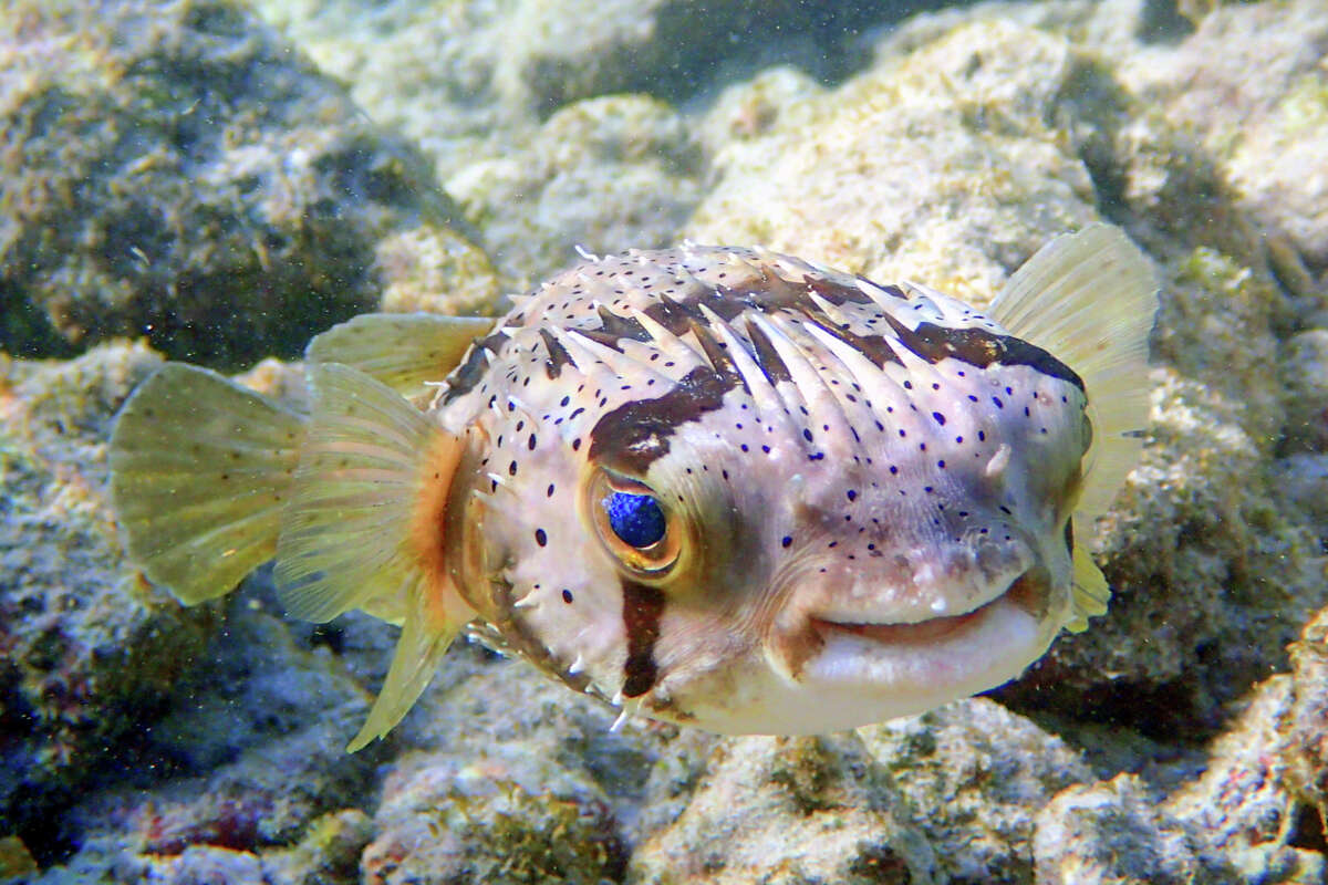 A long-spine porcupinefish.