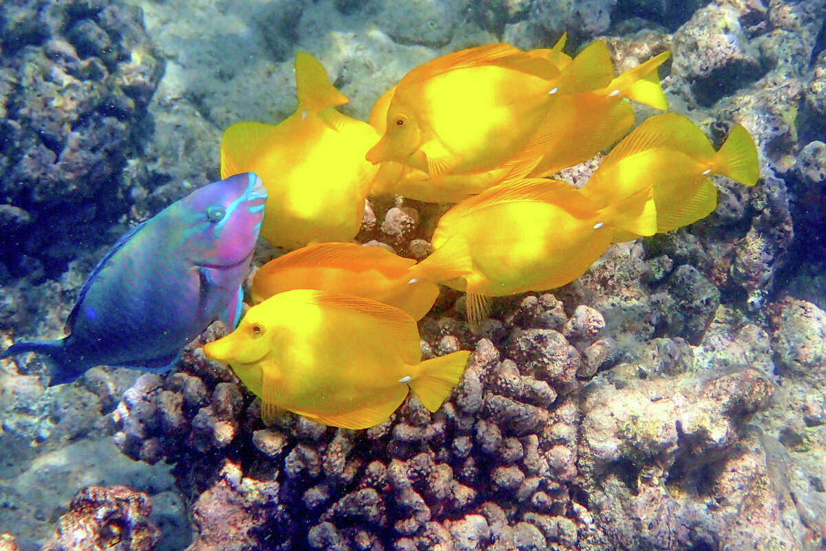The shallow reefs are home to many fish, including these yellow tangs.