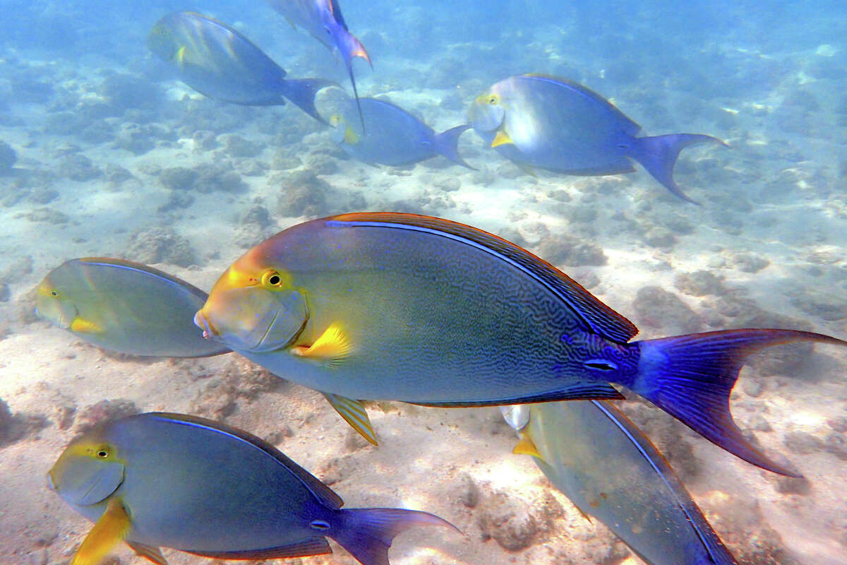 Yellowfin surgeonfish swim in the waters of Hanauma Bay.