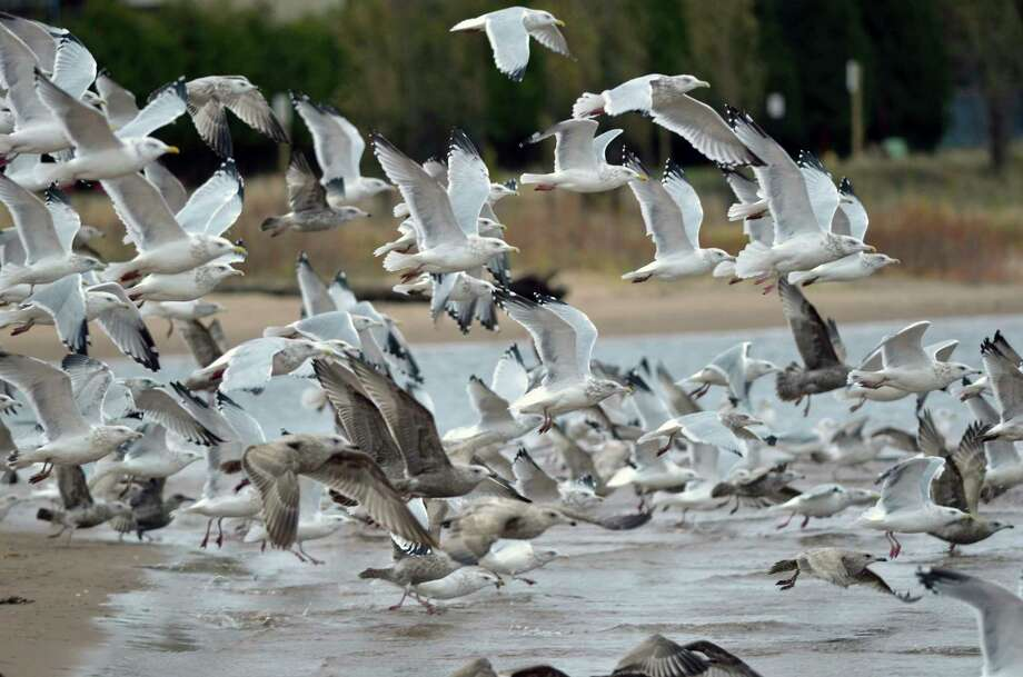 A group of gulls lifts off the sand along the Lake Superior shoreline. (Michigan Department of Natural Resources/Courtesy Photo)