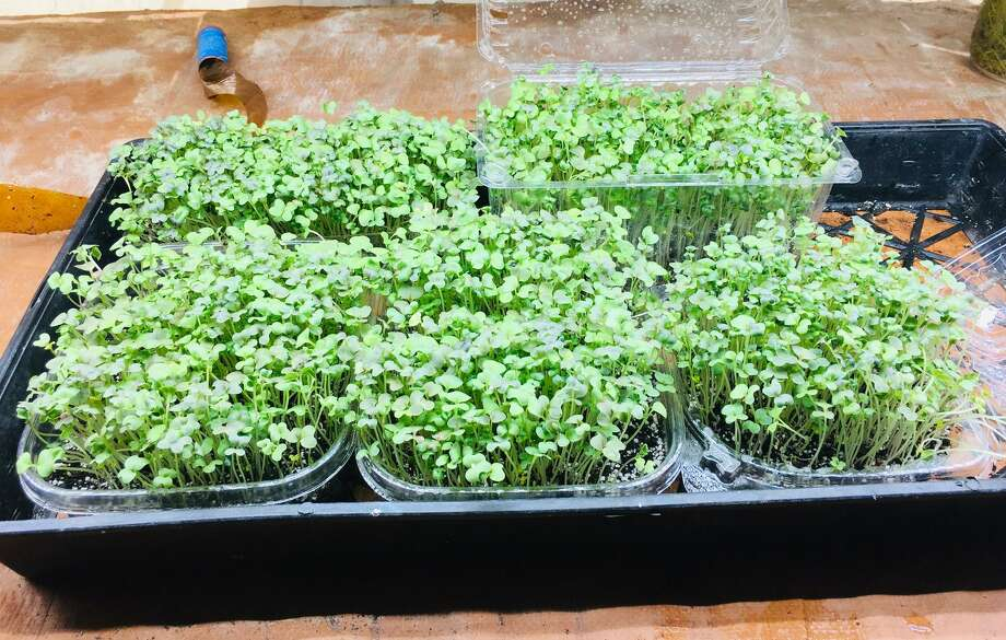 Microgreens are densely sown vegetable and herb seeds that have been allowed to grow beyond the sprout stage to produce leaves (greens) but are not mature plants. Photo: Courtesy Photo
