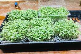 Microgreens are densely sown vegetable and herb seeds that have been allowed to grow beyond the sprout stage to produce leaves (greens) but are not mature plants.