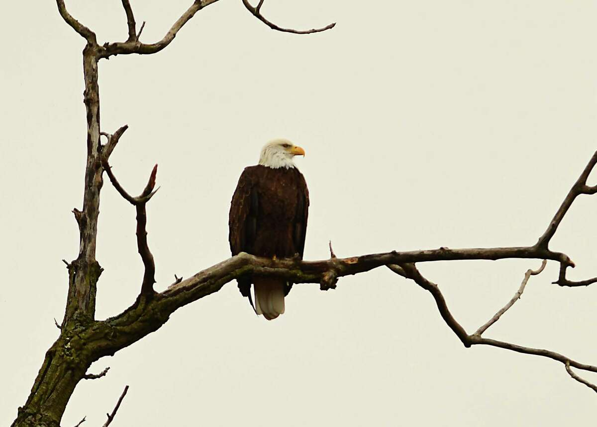 FILE. Letter writer asks, 'What I would like to know is what happens to the eagles, deer and other wildlife that call this area home? Is there a plan to relocate them?' (Lori Van Buren/Times Union)