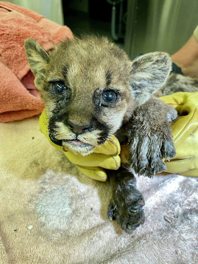 After 47 days healing at the Oakland Zoo Capt. Cal, a cougar cub, will move to the Columbus Zoo and Aquarium in Ohio, officials said.