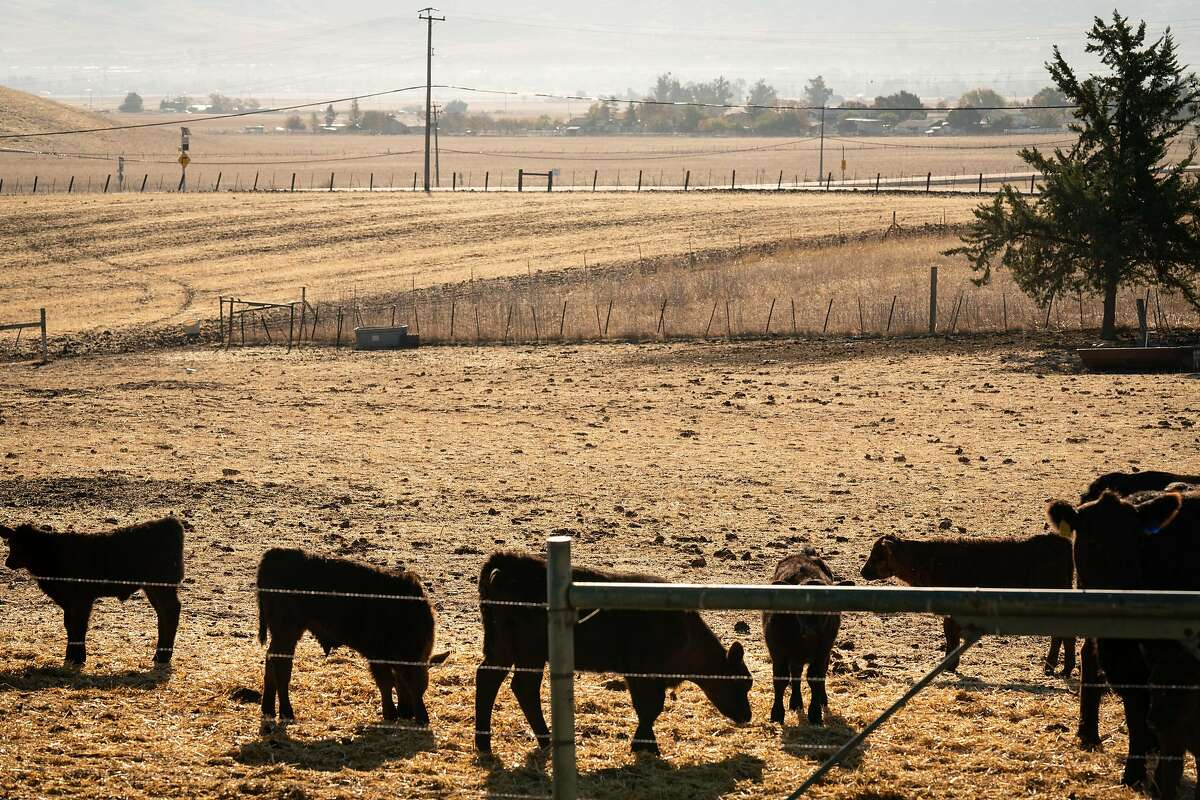 Cattle graze near O'Brien's home in Livermore. Opponents of the huge solar farm development say it will destroy the rural feel of the area.