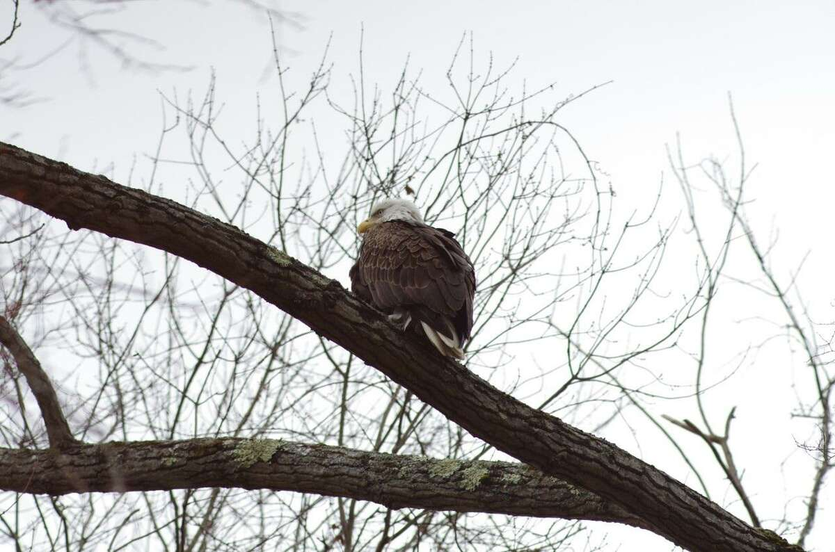 A Bald Eagle is seen in a tree on Chipmunk Lane in Ridgefield on Sunday, Nov. 22. These photos were submitted to The Ridgefield Press by Rick Snyder, a Ridgefield resident.