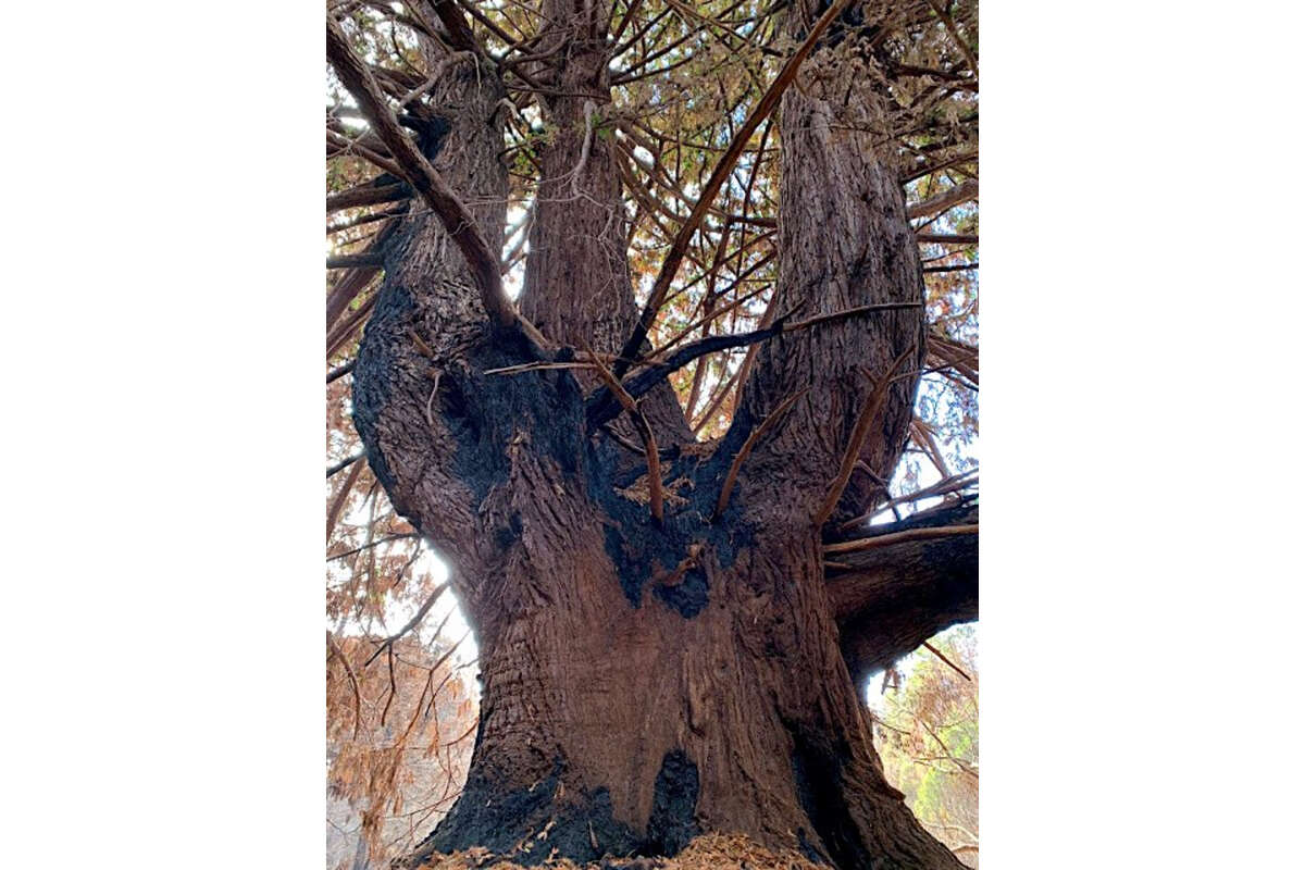 In remote Butano State Park, rangers found the Candelabra Tree emerged from the CZU Lightning Complex lightly scorched and intact