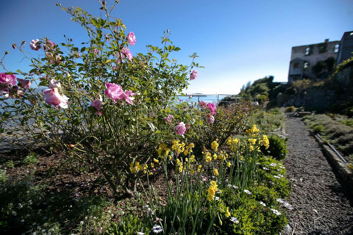 Flowers bloom in the rose garden on Alcatraz Island in San Francisco on Nov. 23, 2020.