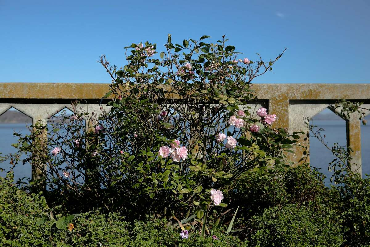 A bush is covered with pink roses in the rose garden on Alcatraz Island in San Francisco on Nov. 23, 2020. For the past 17 years, the National Park Service and Golden Gate National Parks Conservancy have been uncovering and rehabilitating many gardens on the island that were created and maintained during its time as a military base and later a prison.