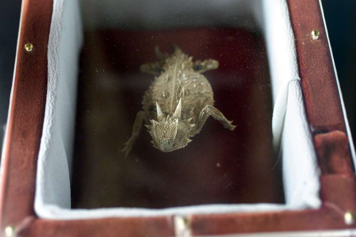 The embalmed body of a horny toad named