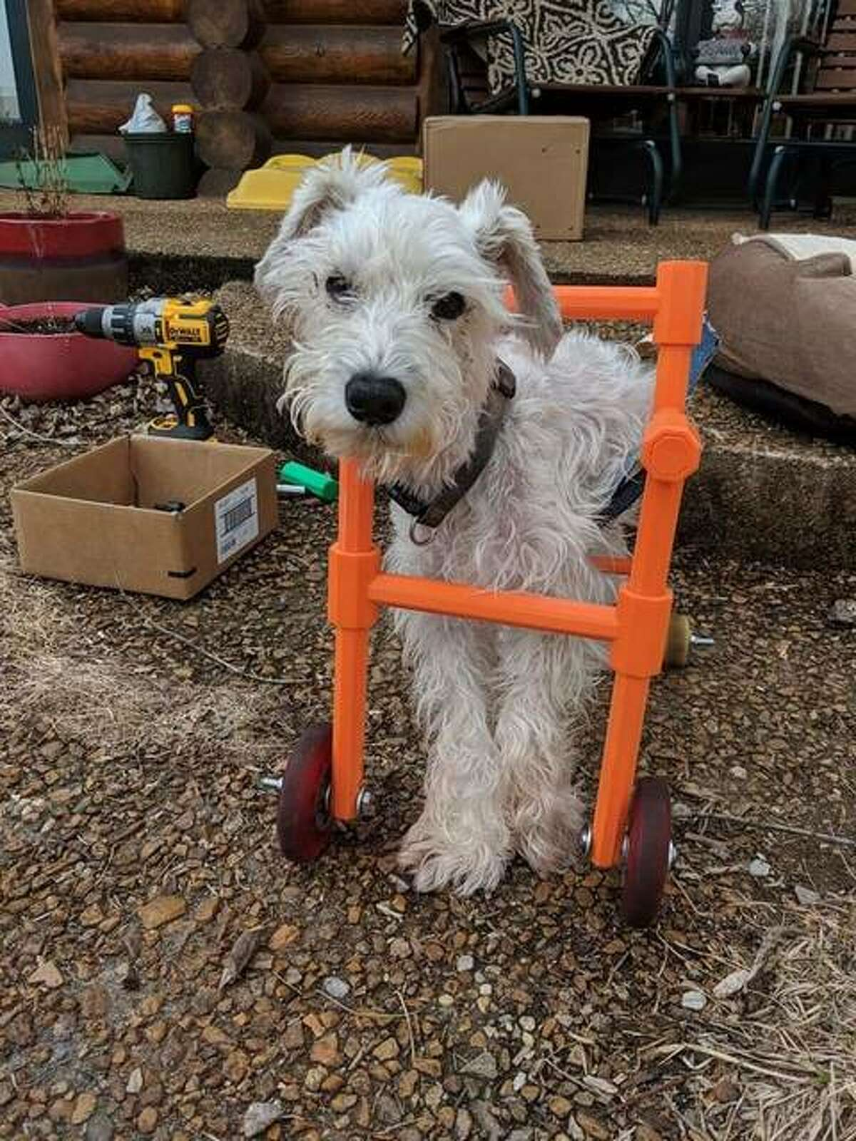 Andrew Martinussen's dog, Mitsy, in the 3D printed wheelchair that sparked the start of 3D Gloop!