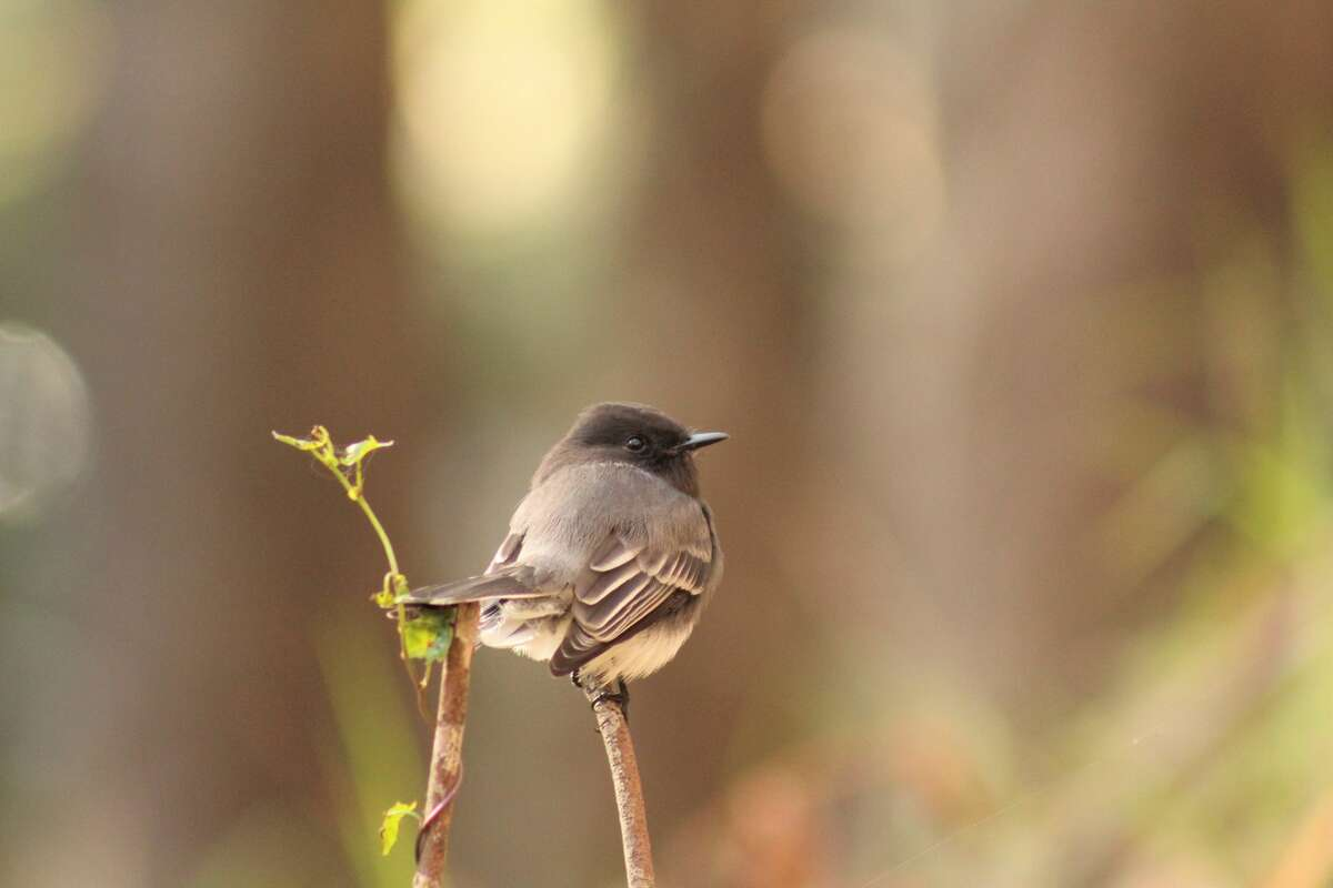 A black phoebe in Stern Grove. Many birds can be found inside the park's grounds as Pine Lake Park is along the Pacific Flyway.