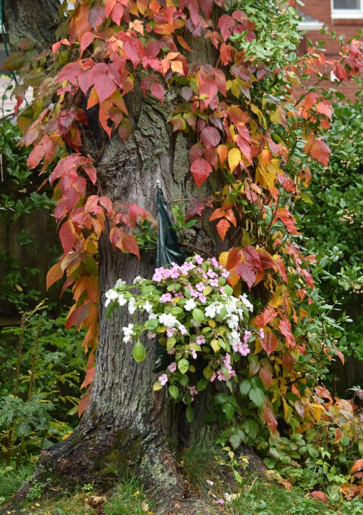 A bloom in Geoffrey Hamburg's backyard
