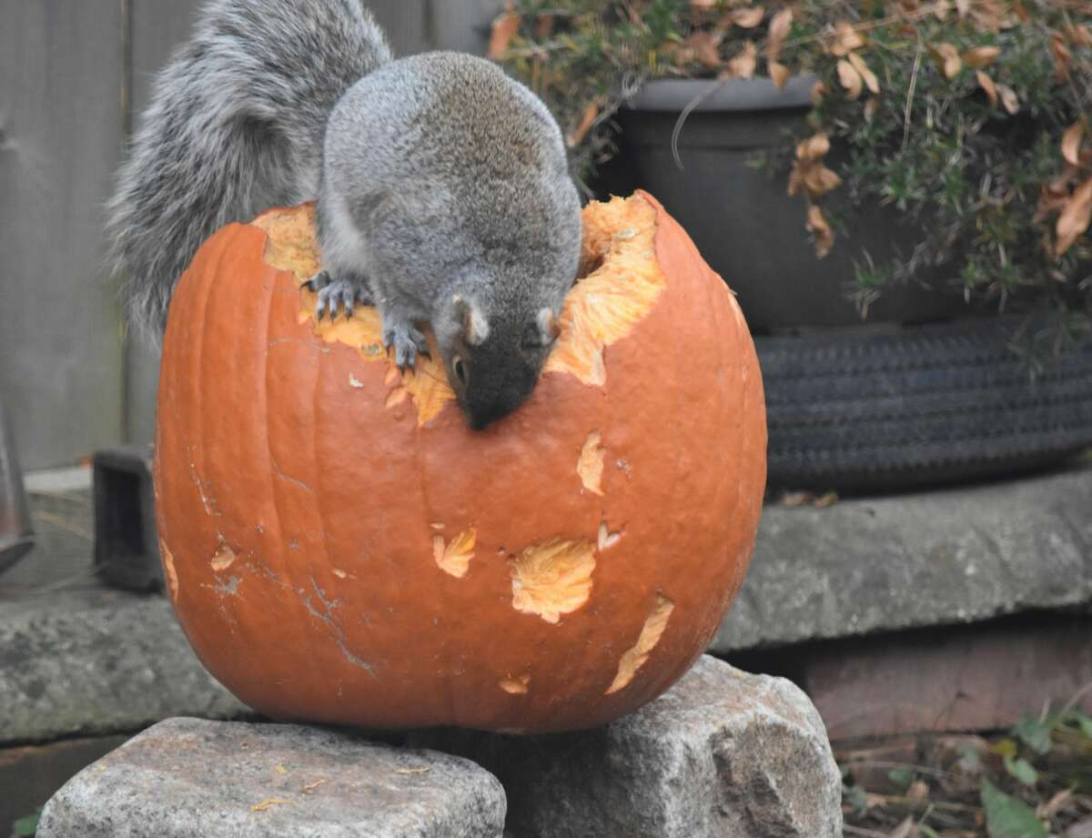 A squirrel munches on a pumpkin in Geoffrey Hamburg's backyard