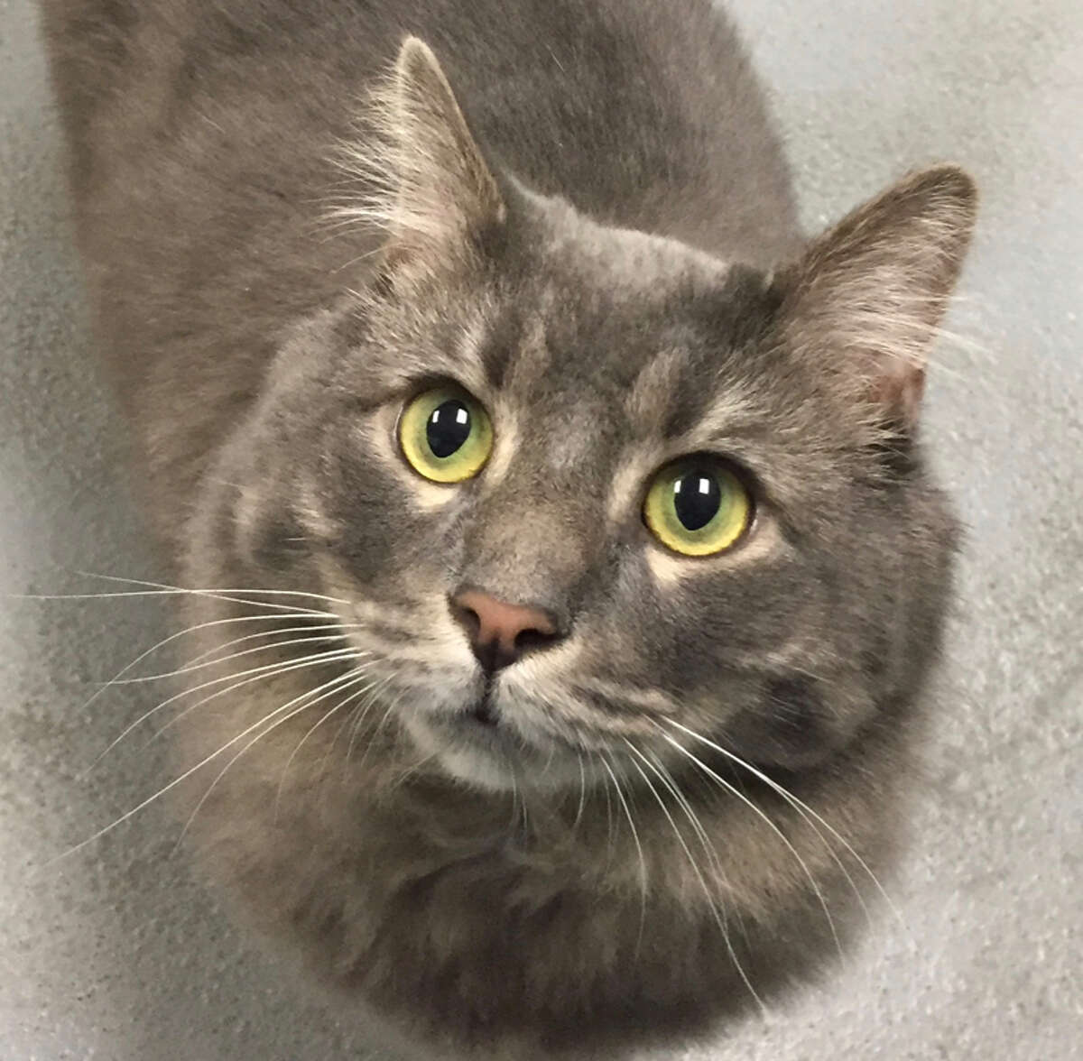 Grayson Breed: Domestic Longhair   Age: 5 Shelter: PAWS (Pet Animal Welfare Society), Norwalk