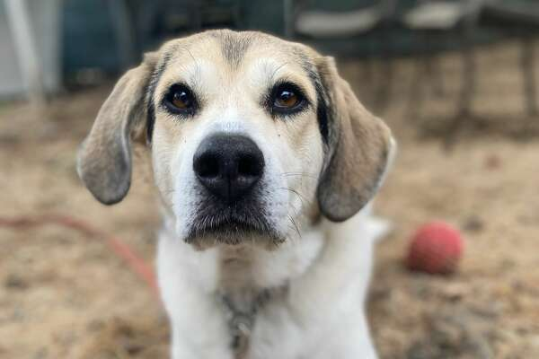 """April Breed: Hound mix 