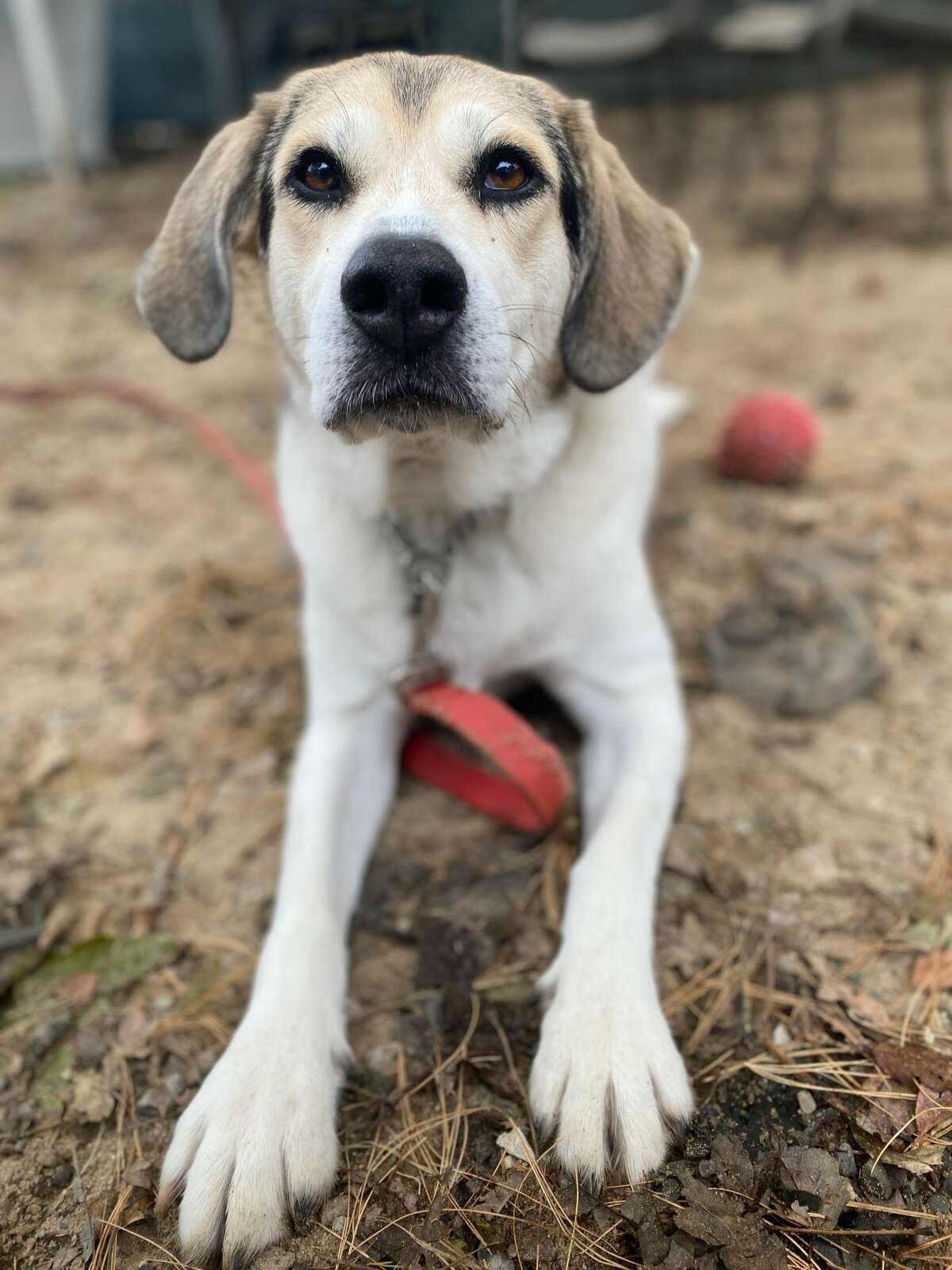 April Breed: Hound mix   Age: 7 Shelter: Adopt-A-Dog, Armonk, NY