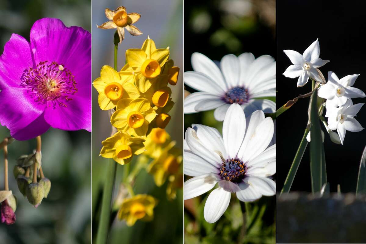 (Left to right) Caladrinia spectabilis, Narcissus