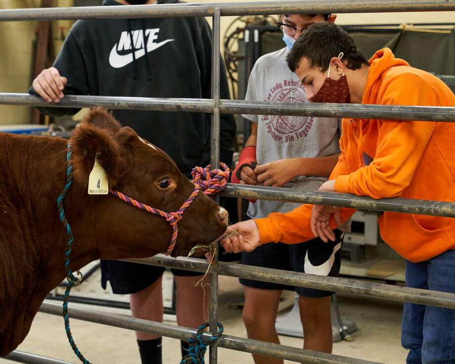 Lee High School students learn about shorthorn steer. Photo: Courtesy Photo