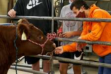 Lee High School students learn about shorthorn steer.