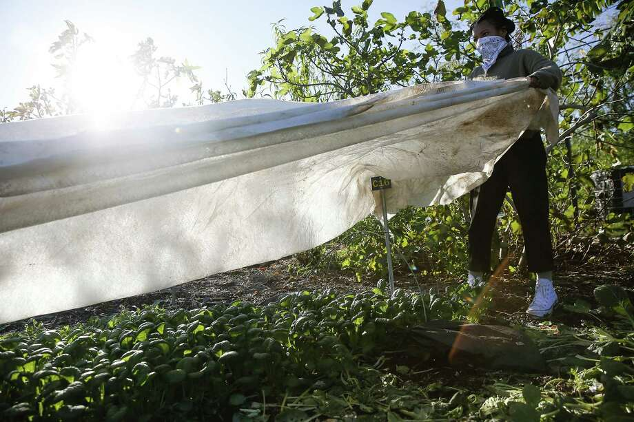 Finca Tres Robles farm manager Jessica Carroll places a frost cloth over misome at the east-side farm in Houston on Monday, Nov. 30, 2020. With temperatures dipping overnight, the farm wanted to protect some plants that could be affected. Photo: Elizabeth Conley, Houston Chronicle / Staff Photographer / © 2020 Houston Chronicle