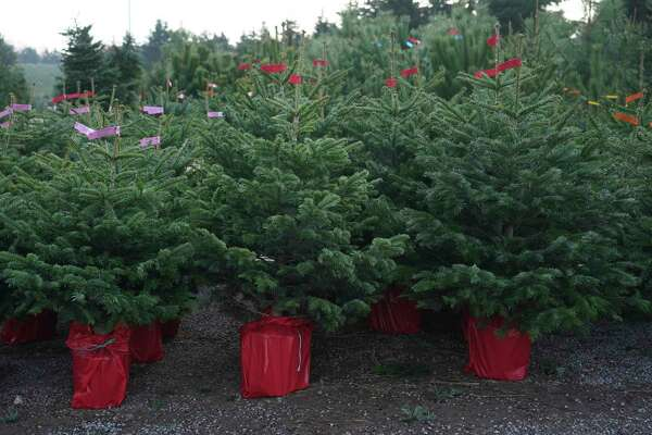 Potted Christmas trees are lined up ready to sell Nov. 24 at a nursery in Germany. A live, container-grown Christmas tree can be planted following the holidays for year-round enjoyment.(Photo by Sean Gallup/Getty Images)