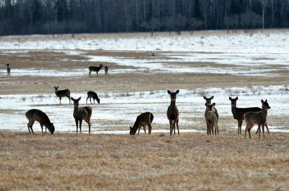 An overabundance of deer can mean fewer resources for them, said local biologist Steve Griffith. Photo: Courtesy Photo /