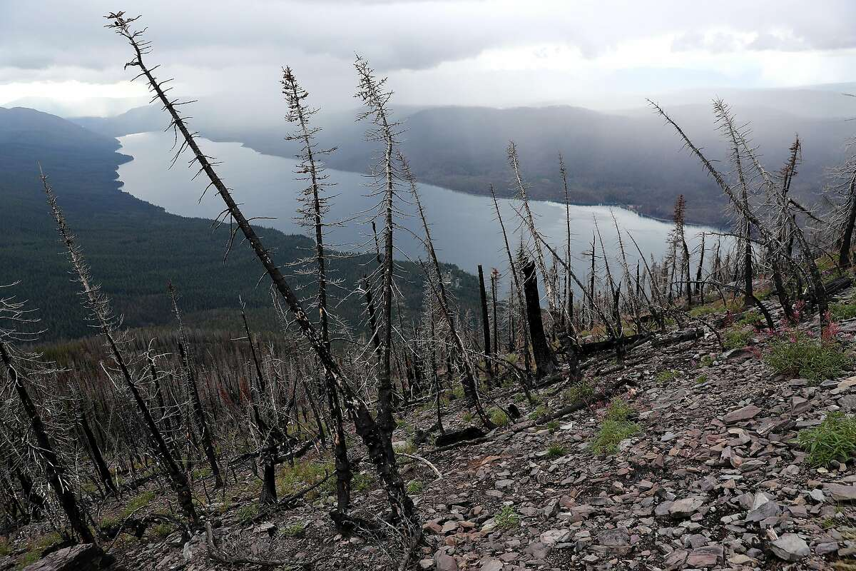 Whitebark pine seedlings have been planted where trees burned in a 2017 fire in Glacier National Park, Montana. A U.S. Park Service revegetation crew planted 585 two-year-old whitebark pine seedlings among the skeletal remains of this forest because the tree grows more successfully in ground that was recently burned. With annual average temperatures in Montana rising almost three degrees Fahrenheit since 1950, high elevation tree species like the whitebark pine that were not previously threatened are now facing an increase in blister rust infections, mountain pine beetle infestations and wildfire. A slow-growing species that lives at elevations above 6,000 feet, the whitebark is an essential source of food for many birds and small mammals.