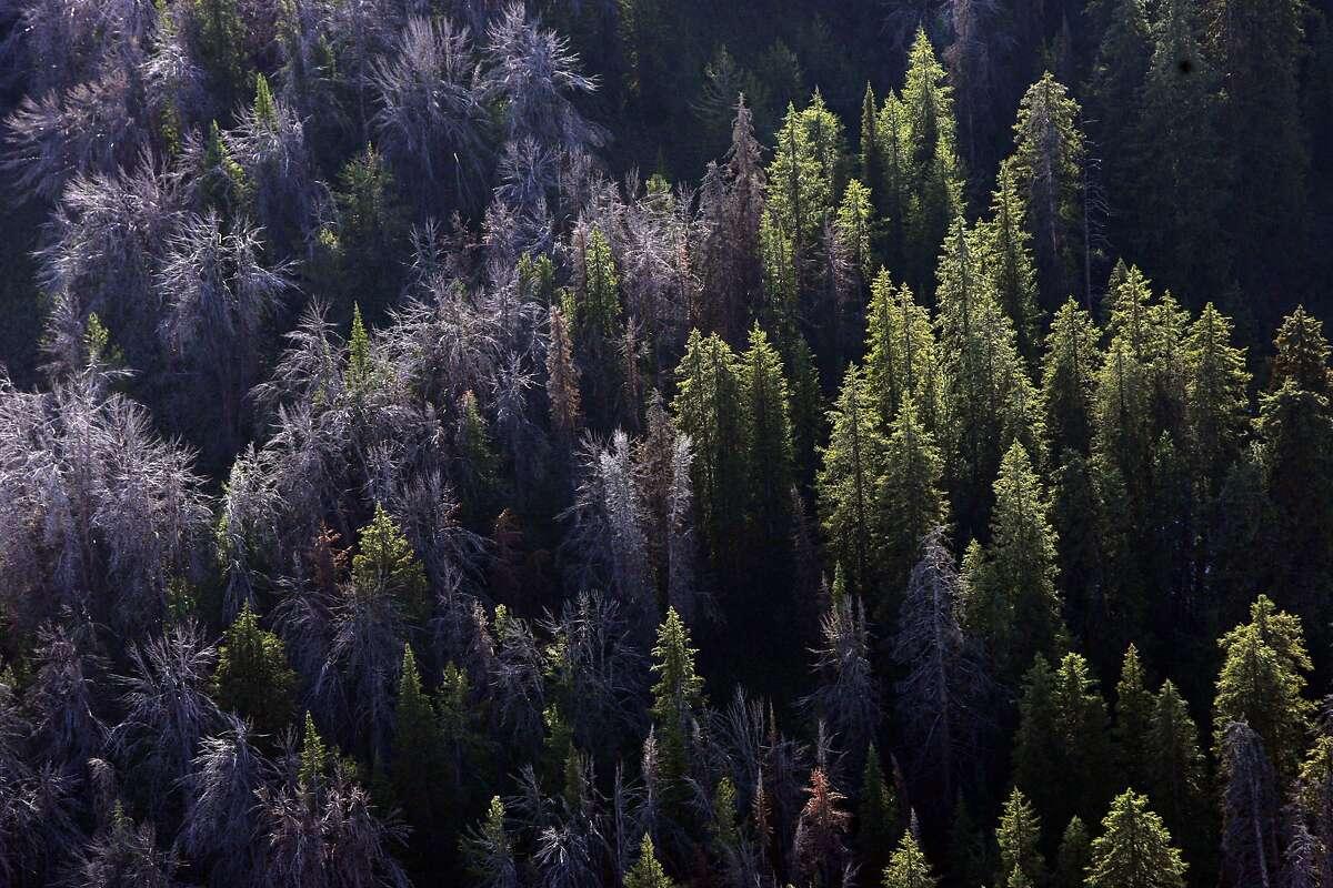 Whitebark pine have succumbed to mountain pine beetles east of Jackson Hole, Wyo.