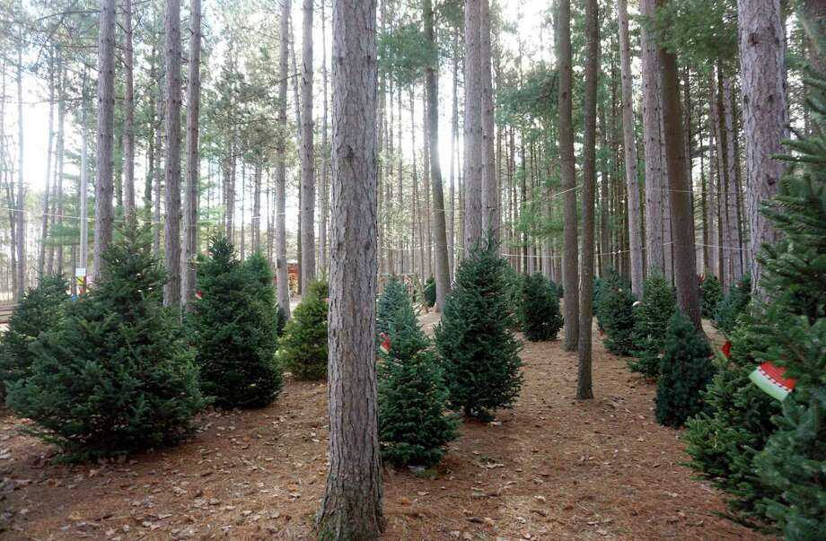 Duddles Tree Farm in Reed City offers a variety of pre-cut trees, while giving individuals the option to choose and cut down their own spruce, such as these trees pictured. The Reed City tree farm has been around since 1957. (Pioneer photo/Joe Judd)