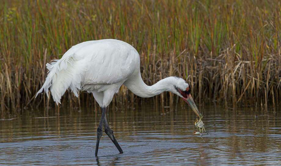 Whooping cranes can only be seen for the next few months down the coast a ways at the Aransas National Wildlife Refuge near the Rockport/Fulton area where they spend the winter and early spring. Photo: Kathy Adams Clark / Kathy Adams Clark/KAC Productions / Kathy Adams Clark/KAC Productions