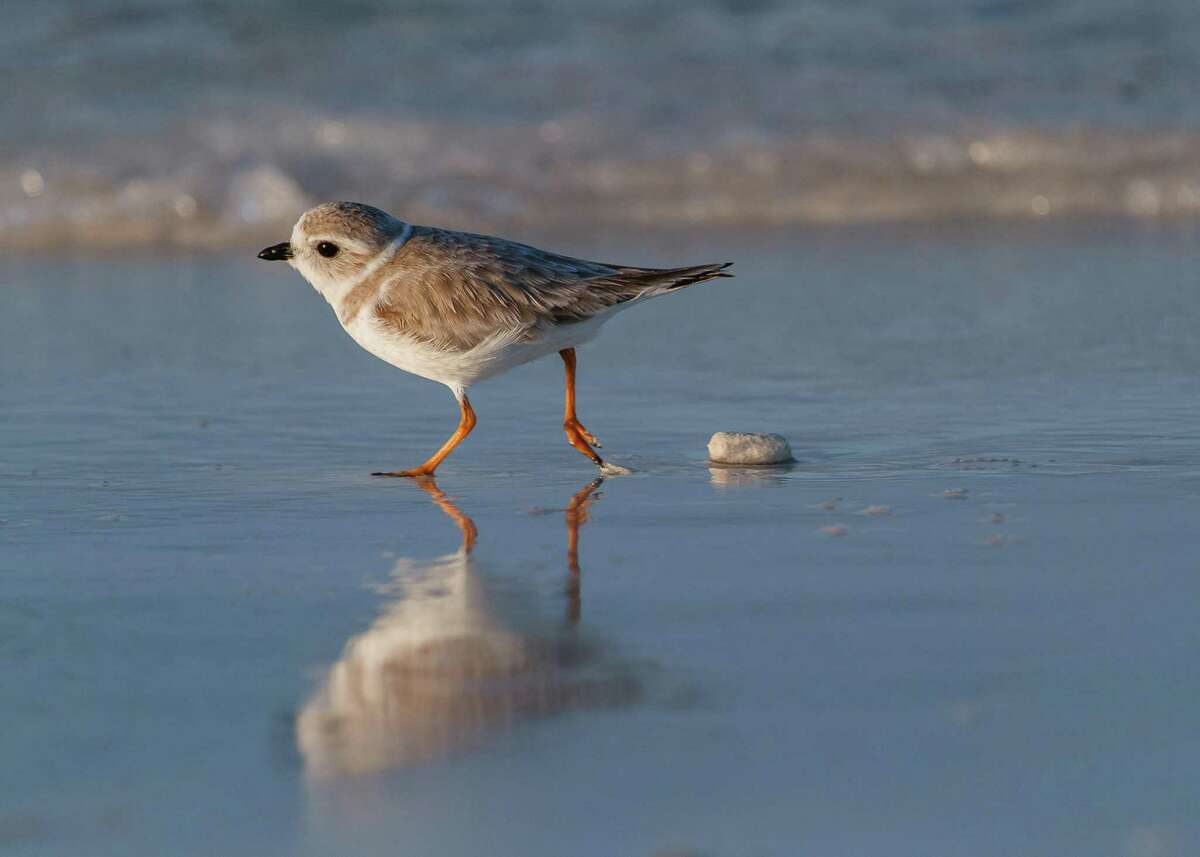 The piping plover is one of the 389 bird species in North American threatened by extinction due to global warming.