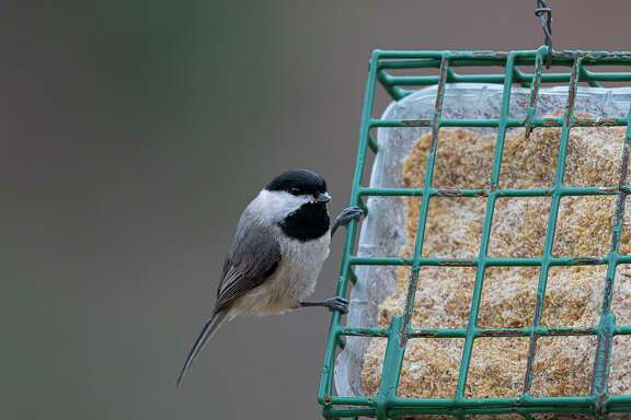 People can participate in the annual Christmas Bird Counts by counting birds at their backyard feeders. Anyone 18 and older may participate free of charge.