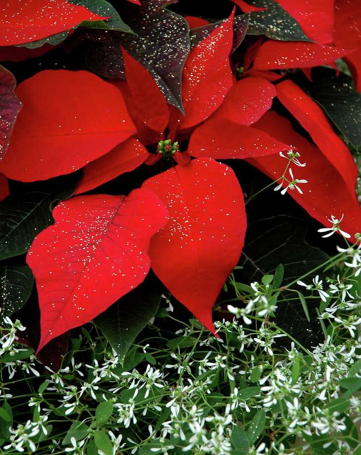 Frost your poinsettia for a Christmas tradition. Photo: Norman Winter, HO / TNS / TNS
