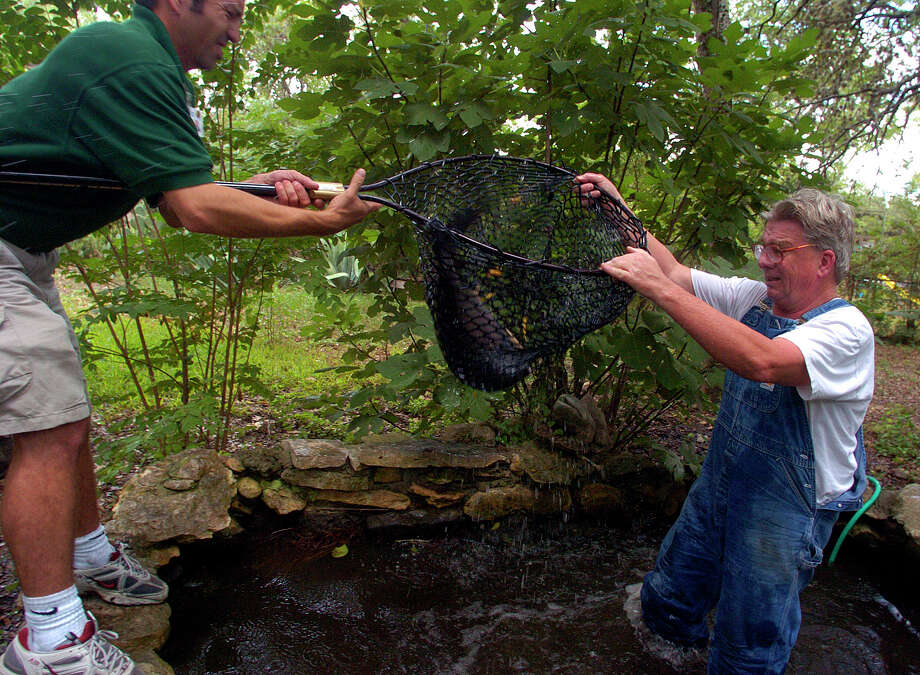 San Antonio Express-News reporter John MacCormack, right, helps David Short of Outdoor World haul in one of the giant pacu fish that have been living at MacCormack's house for the past decade. The fish have become so large that they need more space to live in and will now live in Dallas and be part of an Amazon fish exhibit. Photo: John Davenport, Staff Photographer / SAN ANTONIO EXPRESS-NEWS