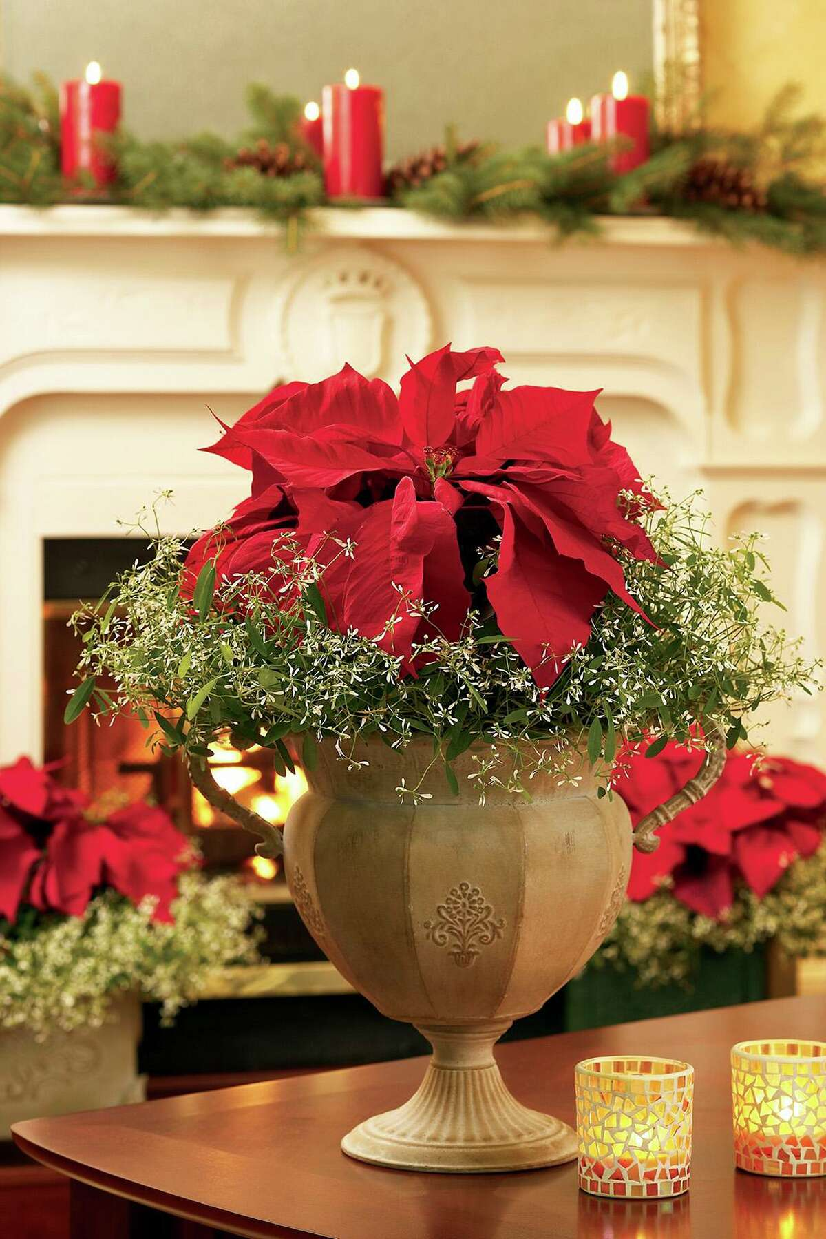 Poinsettias are of one of the traditional Christmas gift flowers that will long outlast the holidays with proper care.