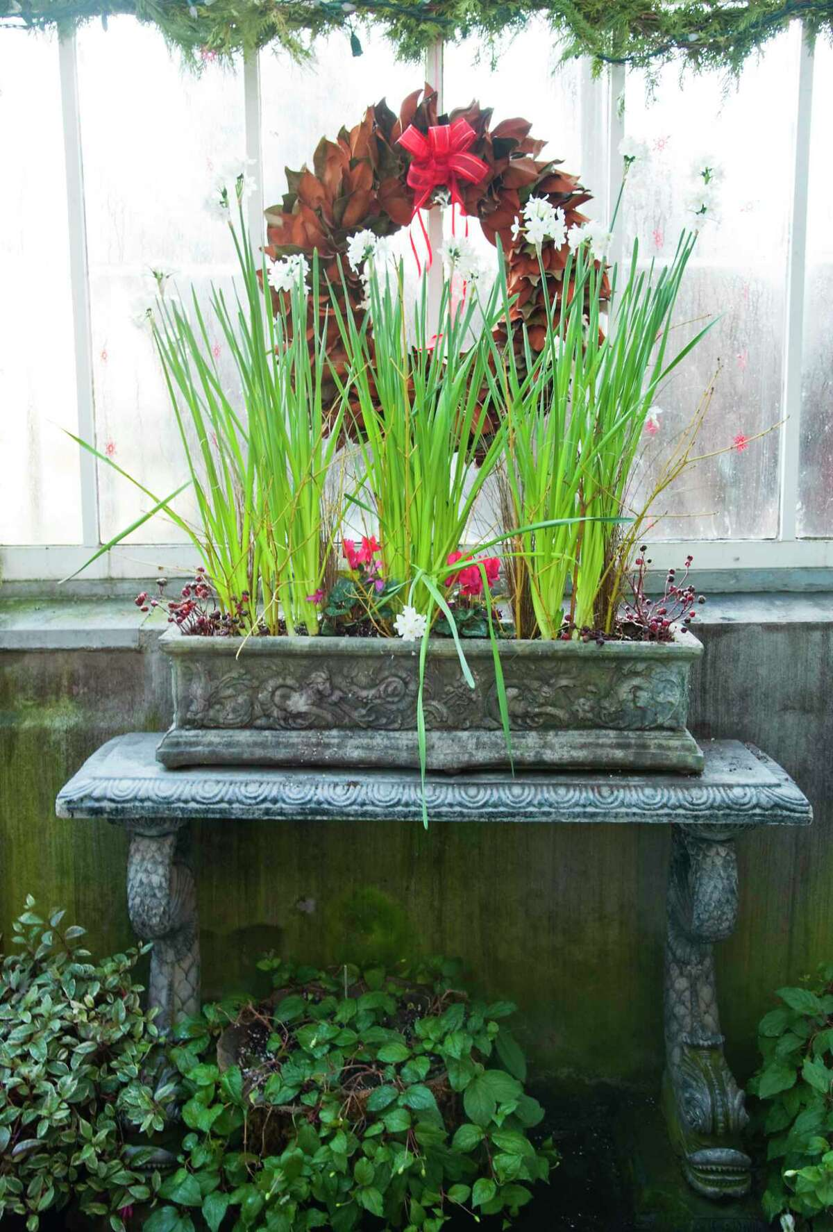 Paperwhites are of one of the traditional Christmas gift flowers that will long outlast the holidays with proper care.