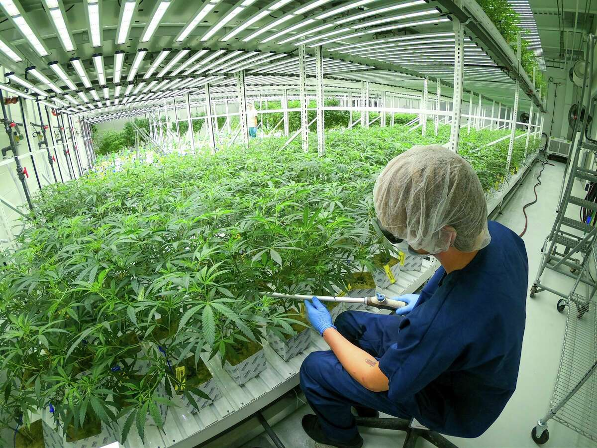 In this file photo, a worker tends to the plants at the Lume cultivation facility in Evart.