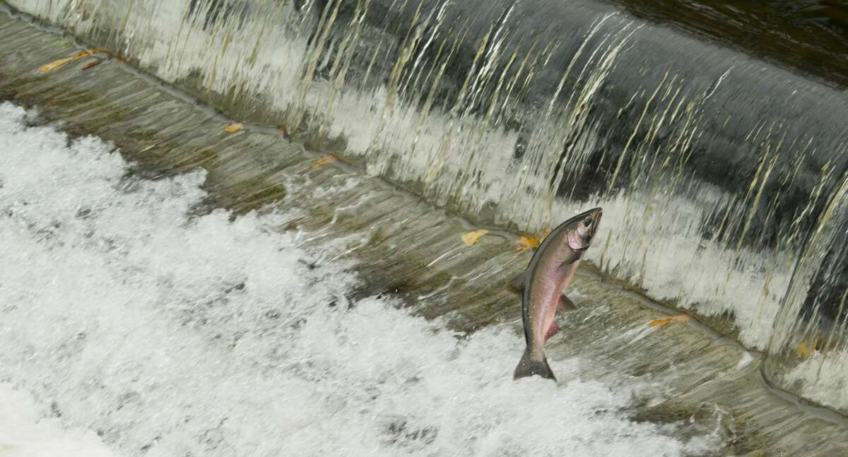Coho Salmon, jumping over dam, Issaquah Creek, October, Isaaquah, Washington USA