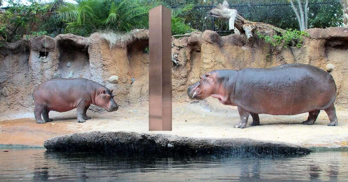 The San Antonio has jokingly placed a monolith in its hippopotamus habitat on Friday.