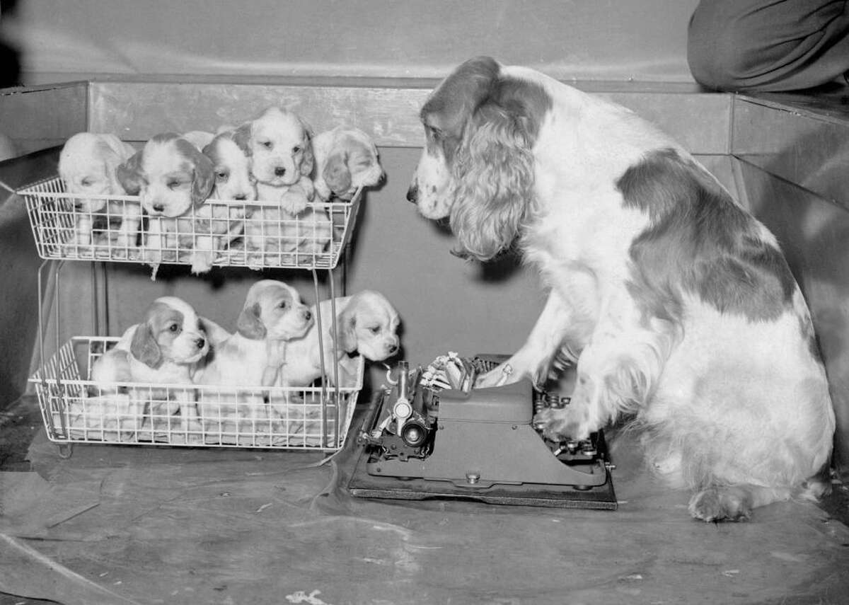 #50. English cocker spaniel Trixie, the mother of eight adorable English cocker spaniel pups, keeps an eye on her offspring who snuggled in office trays in this black-and-white photo from 1960. Trixie was owned by a couple from St. Anne's on the Sea in Lancashire, England. English cocker spaniels were originally bred as hunting dogs, but gained popularity as companion dogs thanks to their jolly and fun personalities.