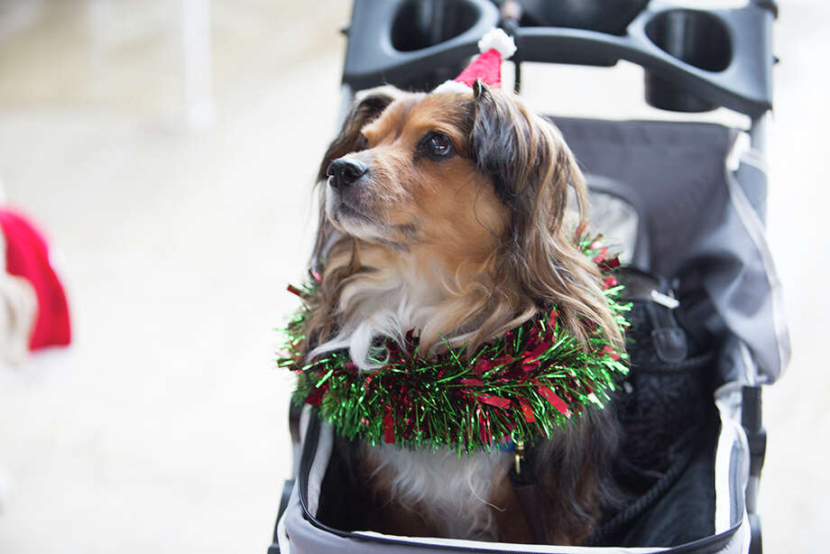 "San Antonians dressed up their dogs in their best holiday attire and gathered at the San Antonio Botanical Garden's ""Deck the Paws Parade"" on Dec. 5, 2020. Photo: B. Kay Richter, For MySA.com"
