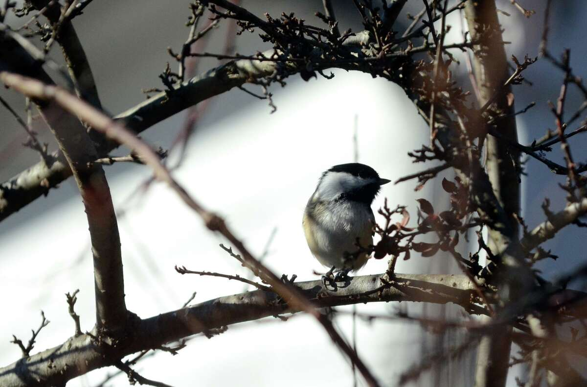 A Black-capped Chickadee rests on a branch during the annual Christmas Bird Count at the Greenwich Audubon on Riversville Road in 2011.