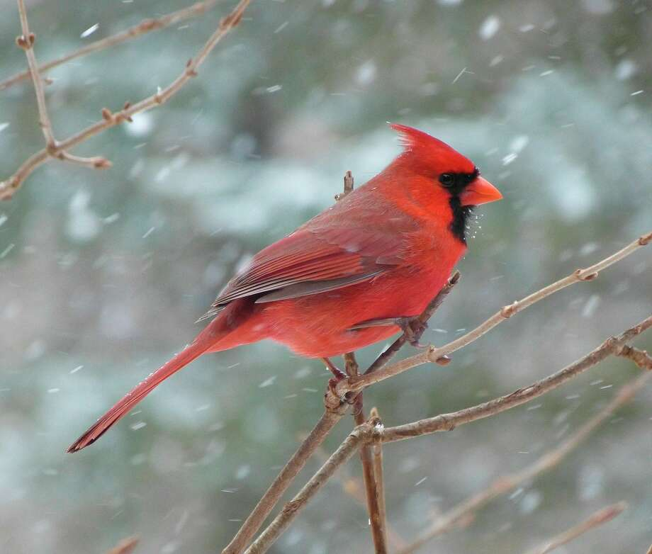 Male cardinals are just one of the many bird species that could be seen during the Benzie County Audubon Clubs Christmas Count. (Courtesy Photo)