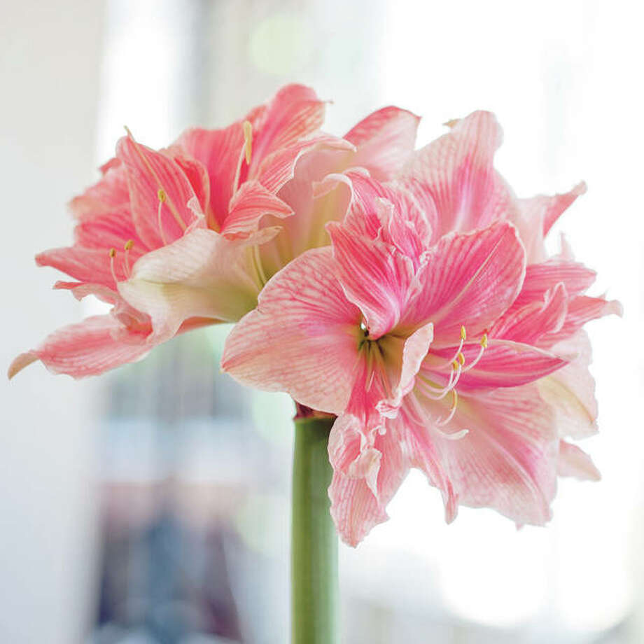 The Sweet Nymph double amaryllis has layers of creamy white petals decorated with coral pink stripes. Photo: Longfield-Gardens.com